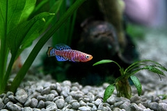 Killifish Guppy